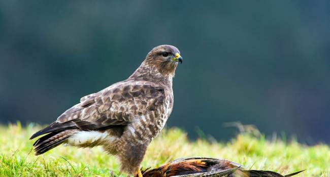 Buzzard. Dave M Hunt (adobe stock)