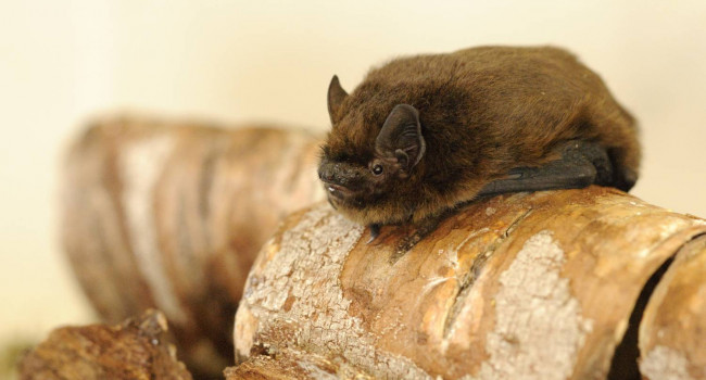 Common Pipistrelle - Amy Lewis