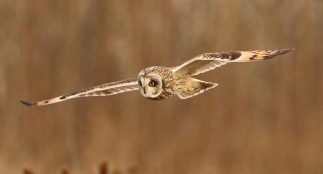 Short-eared Owl. Frank Gardner