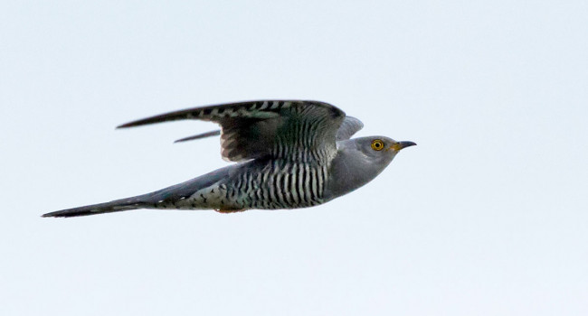 Cuckoo in flight. Colin Brown