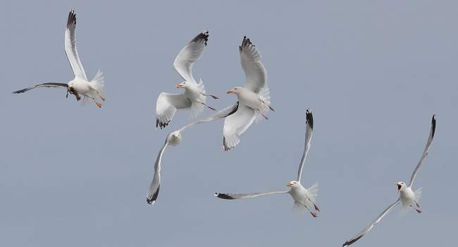 Gulls, photograph by David Williams.jpg