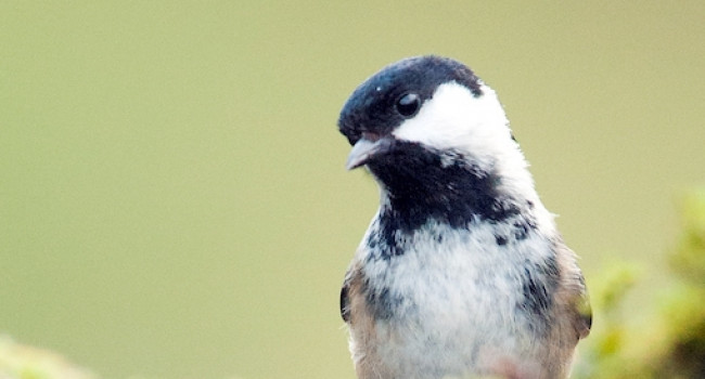 Coal Tit by Sarah Kelman