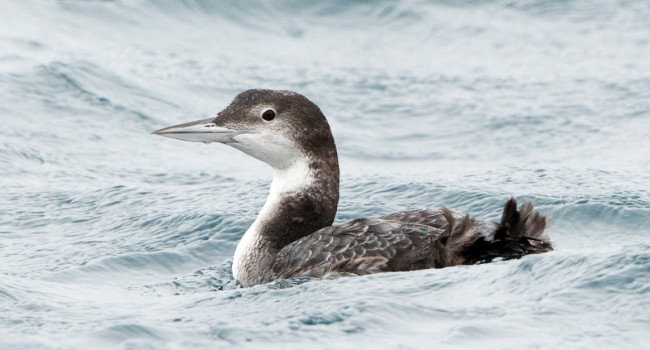 Great Northern Diver by Sarah Kelman