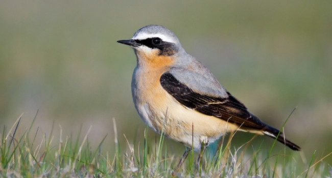 Wheatear by Paul Hillion