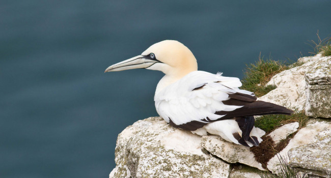 Gannet resting on a rock
