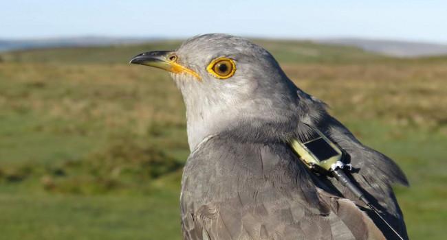 Tagged Cuckoo, photograph by Chris Hewson