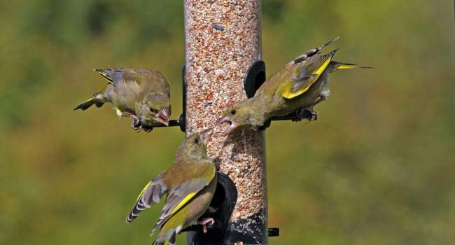 Greenfinches, by Jill Pakenham