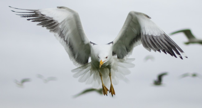 Lesser Black-backed Gull. Sam Whitfield