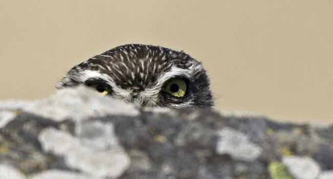 Little Owl, photograph by John Harding
