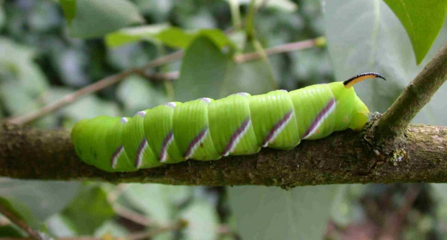 Privet Hawk Moth caterpillar, photograph by Mike Toms