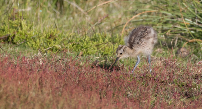 Curlew chick. Liz Cutting