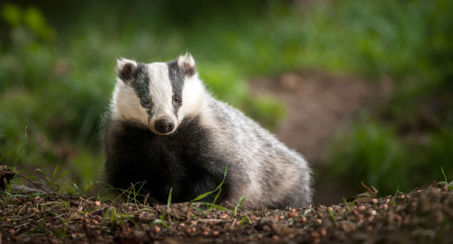 European Badger. Sarah Kelman
