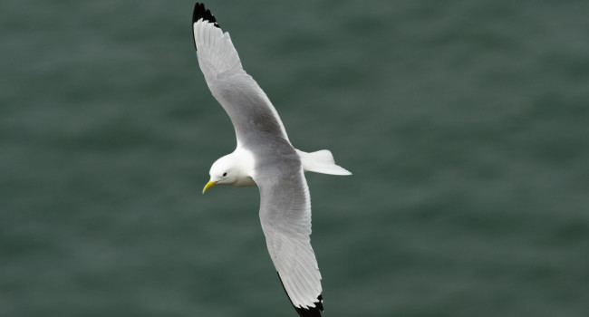 Kittiwake, Richard Jackson.