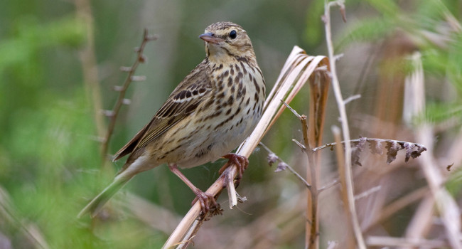 Tree Pipit by Chris Knights