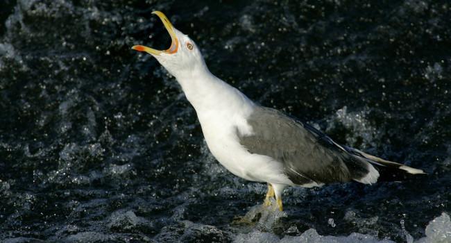 Lesser Black-backed Gull. Edmund Fellowes