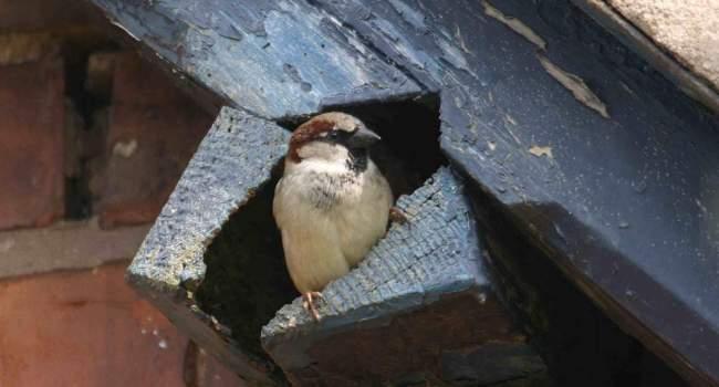 House Sparrow, John Harding
