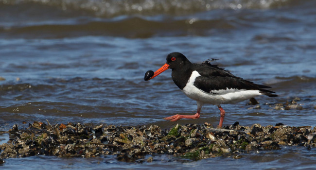 Oystercatcher feeding along the shoreline