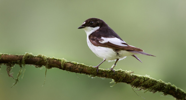 Pied Flycatcher. Edmund Fellowes