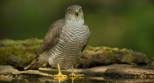 Sparrowhawk. Edmund Fellowesv