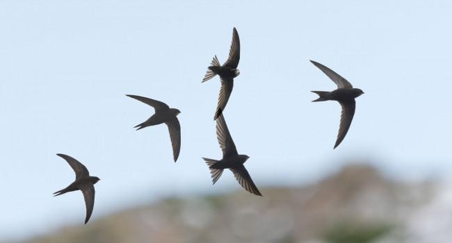 Swifts. Philip Croft