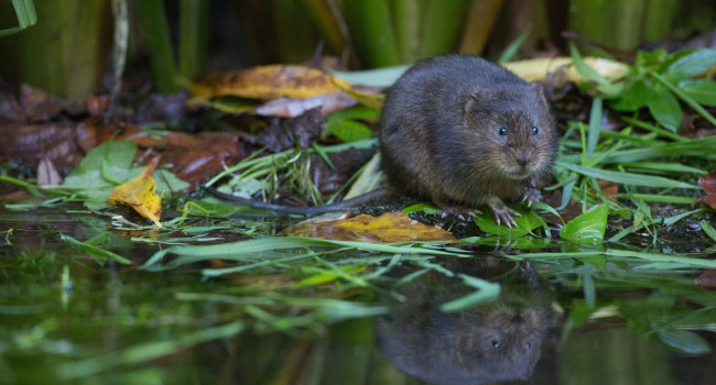 Water Vole. Liz Cutting