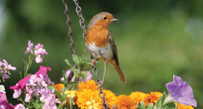 Robin. John Harding