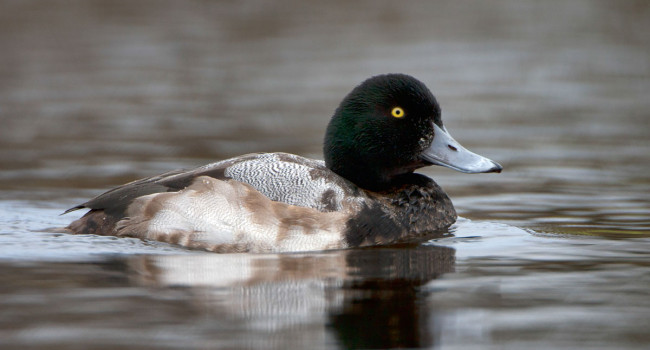 Scaup. Paul Hillion
