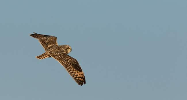 Short-eared Owl by Tom Streeter