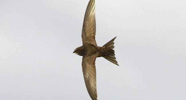 Swift. Photograph by Dennis Atherton