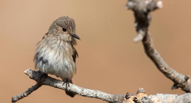 Spotted Flycatcher. Photograph by David Jefferson