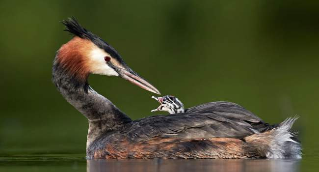 Great Crested Grebe. Photograph by Austin Thomas