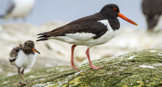 Oystercatcher. Brais Seara @ stock.adobe.com