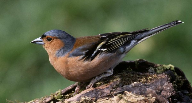 Chaffinch. Photograph by Jill Pakenham.