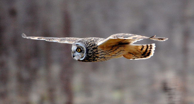 Short-eared Owl. Photograph by Amy Lewis