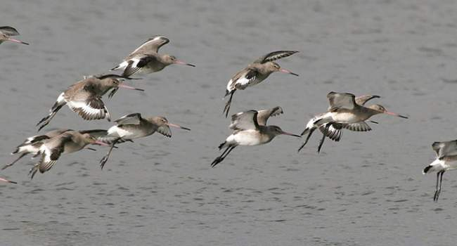 Black-tailed Godwit. Photograph by Jill Pakenham