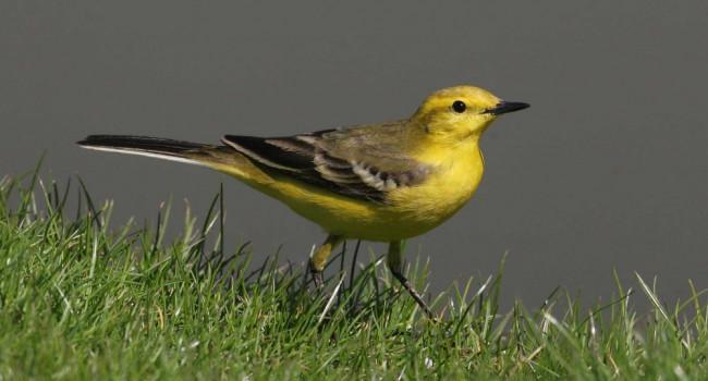 Yellow Wagtail, photograph by Jill Pakenham