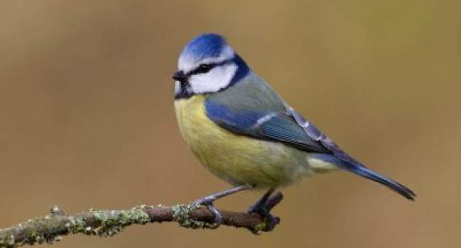 Blue Tit. Photograph by Liz Cutting.