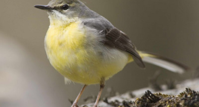 Grey wagtail by Edmund Fellowes