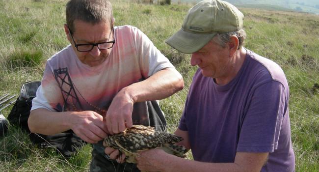 Short-eared Owl tagging. Chris Wernham