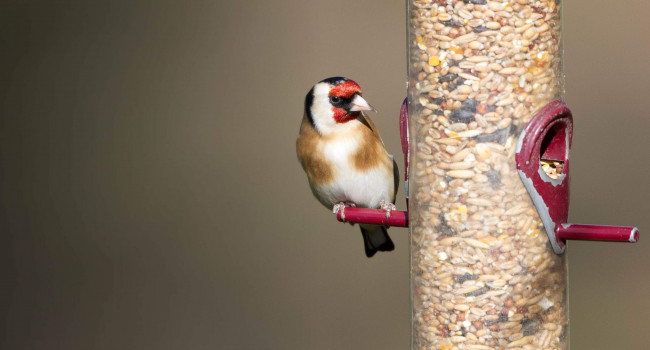 Goldfinch. Paul Newton