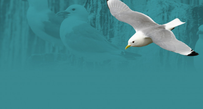 Kittiwake. Richard Jackson (Background image by Philip Croft)
