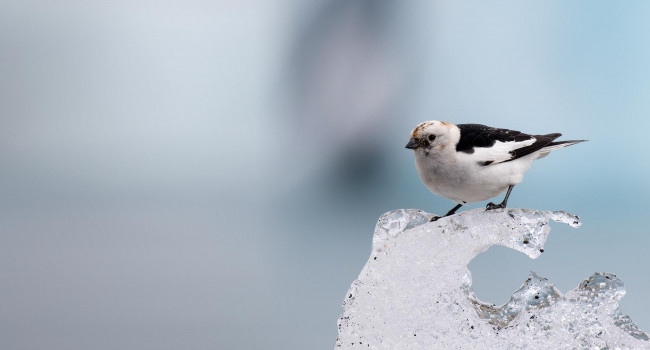 Snow Bunting. Liz Cutting
