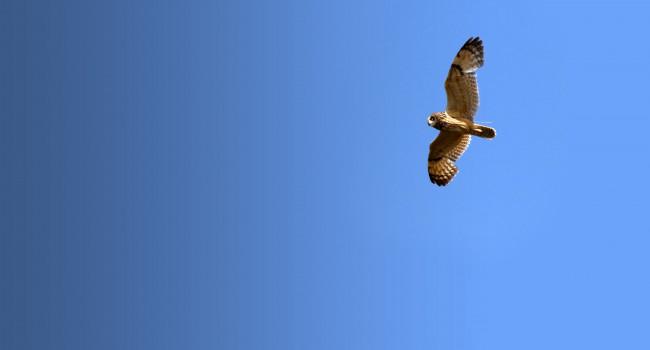 Tagged Short-eared Owl. Anne Carrington-Cotton