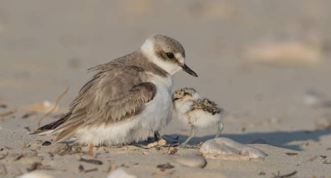 Kentish Plover (by vinx83 / Adobe Stock)