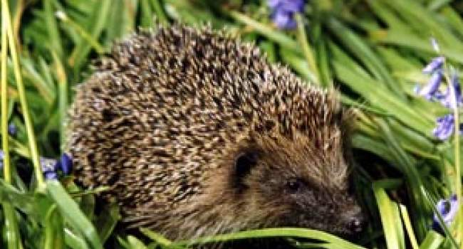 Hedgehog by John Harding