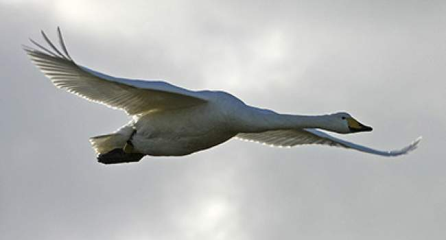 Whooper Swan. Photograph by Jill Pakenham