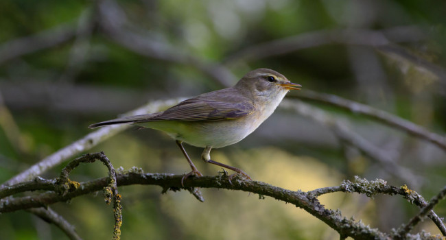 Willow Warbler. Edmund Fellowes.