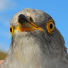 Larry the Cuckoo