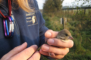 Ringing a Greenfinch