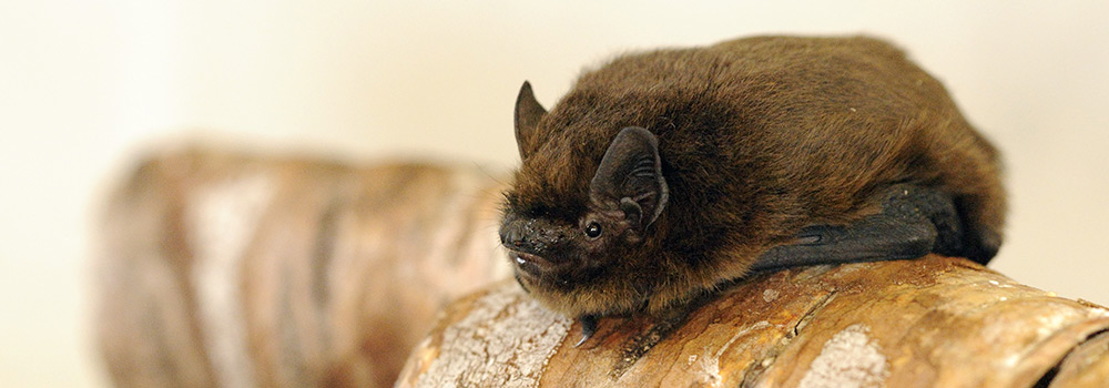 Common Pipistrelle. Photograph by Amy Lewis